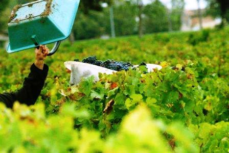 Beau_Rivage_Weinlese,_grape_harvest_2