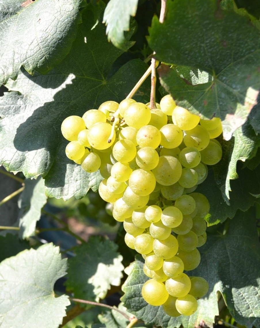 Chardonnay_grape, like moderate climates, and produces excellents wines
