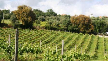 Quinta_do_Montalto_organic vineyard proteted by hedges from foreign influences