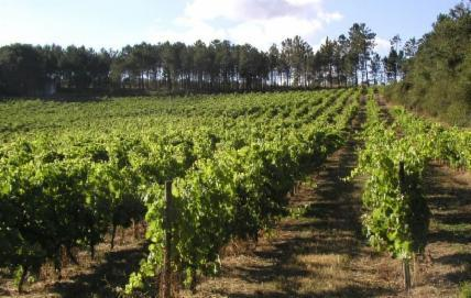 Quinta_do_Montalto_organic vineyard protected from foreigne influences by hedges and trees